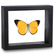 Golden Jezebel Butterfly - Delias aruna irma - Male - Topside - Black Finish
