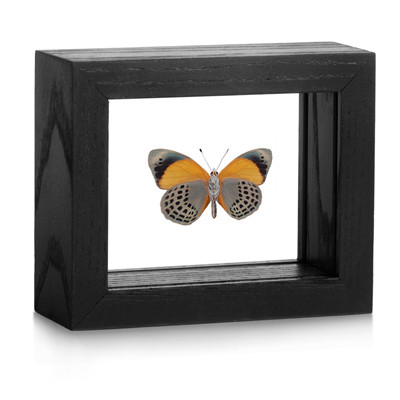 Brush-footed Butterfly - Asterope markii davisii - Underside - Black Finish