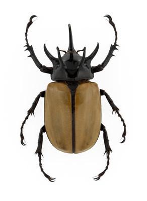 5 Horned Rhinoceros Beetle Eupatorus gracilicornis