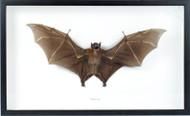 Cynopterus sp. - Fruit Bat frontal