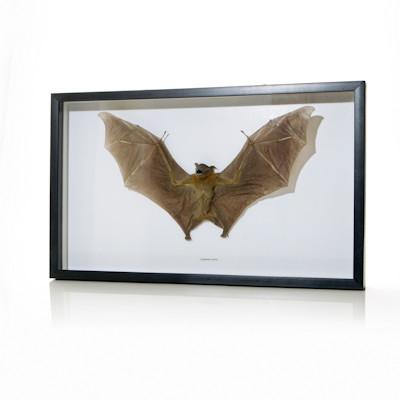 Cynopterus sp. - Fruit Bat Thumbnail