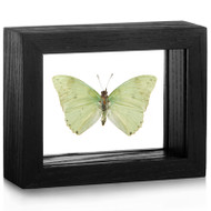 Mint Leaf-wing Butterfly - Charaxes eupale (Topside) - Black Finish