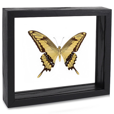 The King Swallowtail Butterfly - Papilio thoas (Underside) Black Finish
