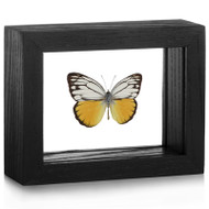 Pierid Butterfly - Cepora aspasia (Topside) black finish