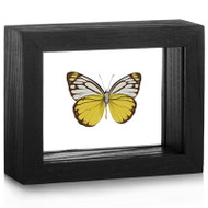 Pierid Butterfly - Cepora aspasia (Underside) black finish