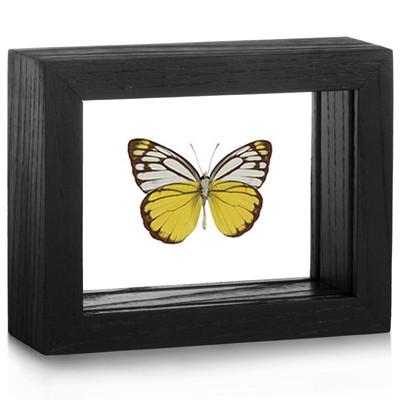 Pierid Butterfly - Cepora aspasia (Underside) black finish