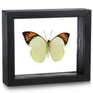 Great Orange Tip Butterfly - Hebomoia glaucippe (Topside) black finish