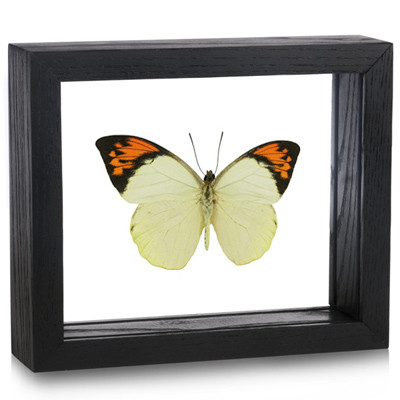 Great Orange Tip Butterfly - Hebomoia glaucippe (Topside) black finish