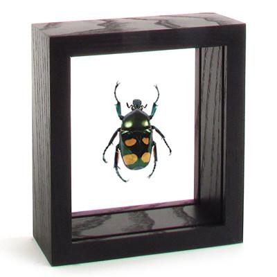 Giant Flower Beetle - Jumnos Ruckeri (Male) black finish