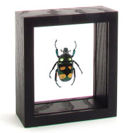Giant Flower Beetle - Jumnos Ruckeri (Male) black finish