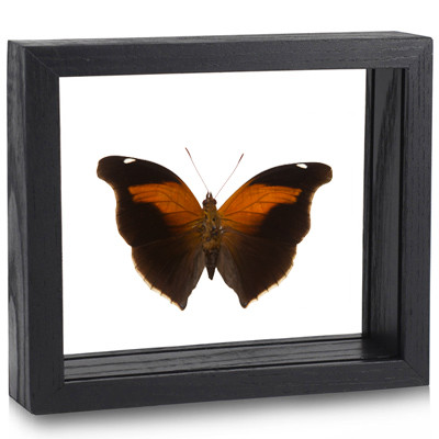 Stinky Leaf Wing Butterfly - Historis odius (Topside) - Black finish