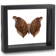 Stinky Leaf Wing Butterfly - Historis odius (Underside) - Black Finish
