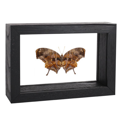 Tiger Leaf wing Butterfly- Consul fabius (Underside) - Black frame