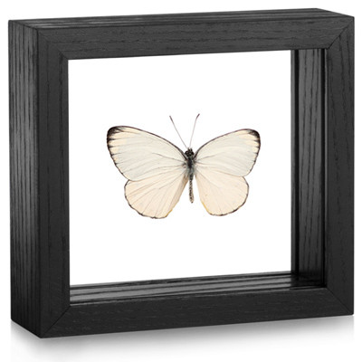 Splendid Butterfly - Delias splendida (Topside) - Black Framed