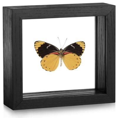 Splendid Butterfly - Delias splendida (Underside) - Black Framed