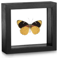 Splendid Butterfly - Delias splendida (Underside) - Black Framed