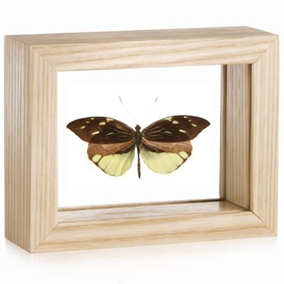 Crisia Mimic-White Butterfly - Dismorphia nemesis - Natural Framed
