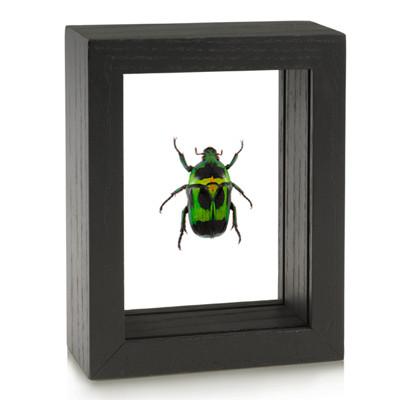 Flower Beetle - Heterorrhina macleayi - Black Framed