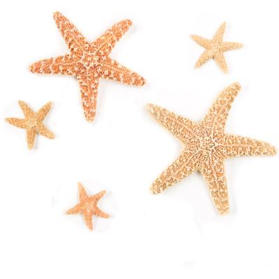 Sugar Star Seashell - Thumbnail