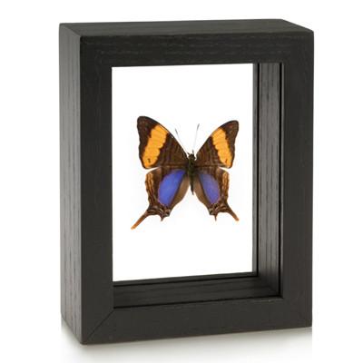 Daggerwing Butterfly - Marpesia marcella - Black framed