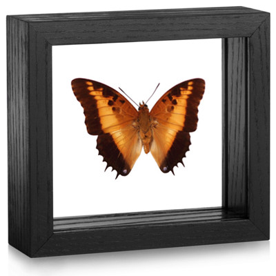 Black Bordered Charaxes - Charaxes Pollux - Topside - Black Frame