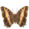 Black Bordered Charaxes - Charaxes Pollux - Underside - Unframed Specimen