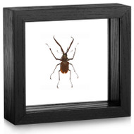 Darwin's Beetle - Chiasognathus grantii