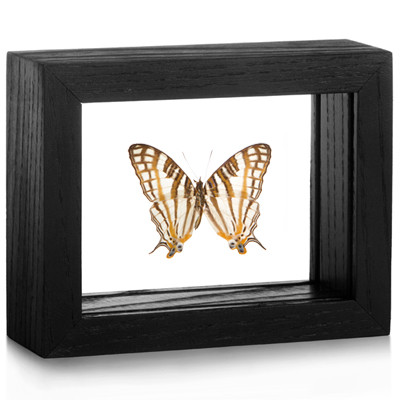 The African Map Butterfly - Cyrestis Camillus - Black Frame