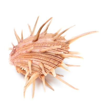 Regal Spiny Oyster - Thumbnail