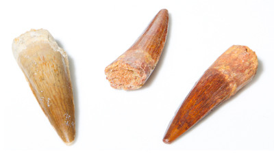 A-Quality Dinosaur Teeth - Thumbnail