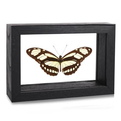 Philaethria (Metamorpha) Dido - Topside - Black Frame