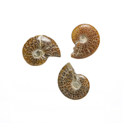 Polished Whole Ammonite Cleoniceras sp.