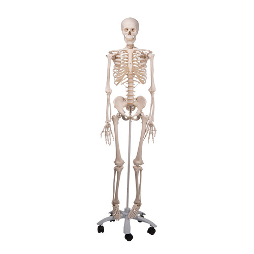 Standard Human Skeleton with Pelvic Mounted Stand - Full