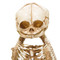 Conjoined A-Baby Skeleton - Closeup