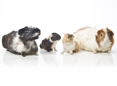 Guinea Pig - Tumbnail