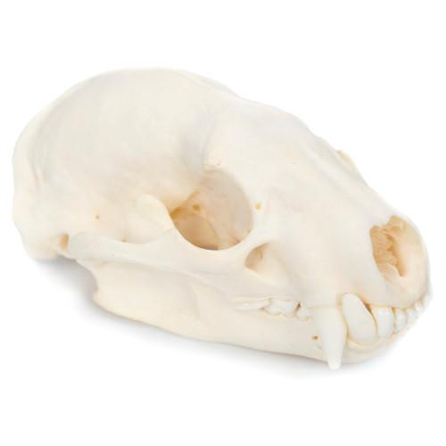 Badger Skull  - Thumbnail