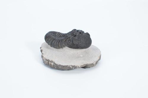 Fossil Trilobite - Moroccanites sp. - Thumbnail