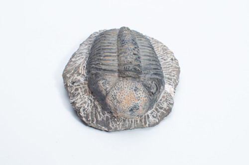 Fossil Trilobite - Leonaspis sp. - Thumbnail