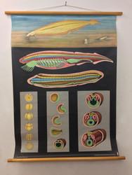 Vintage Lancelet Fish Poster