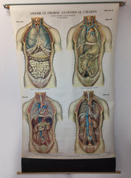 Vintage Chest and Abdomen Poster - Front View