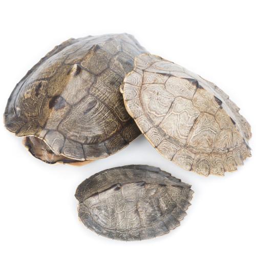 Map Turtle Shell - Thumbnail
