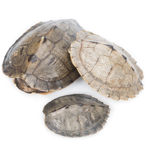 Map Turtle Shell - Thumbnail