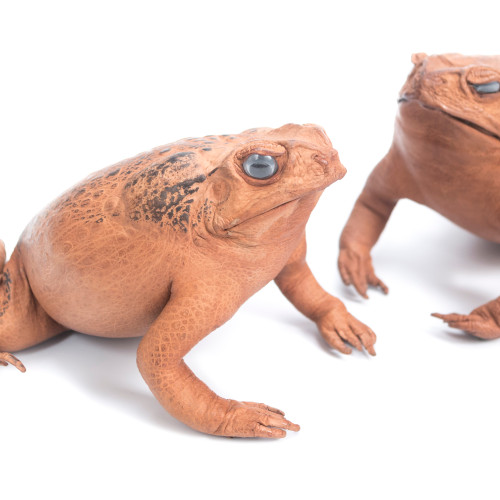 Lucky Cane Toad - Thumbnail