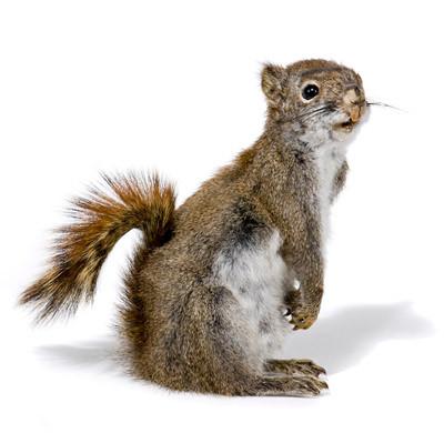 Squirrel - Side