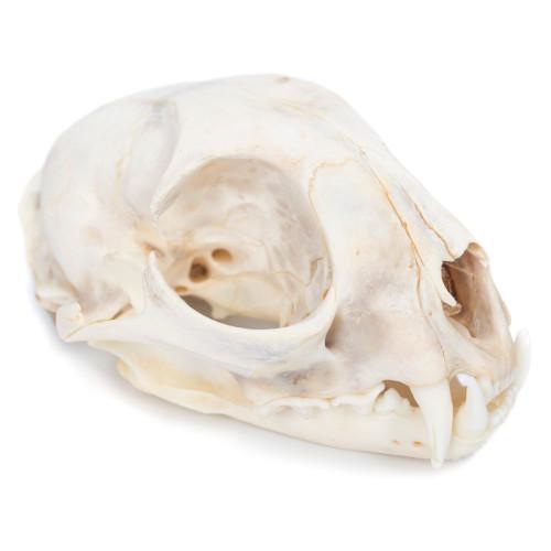 Bobcat Skull - Thumbnail