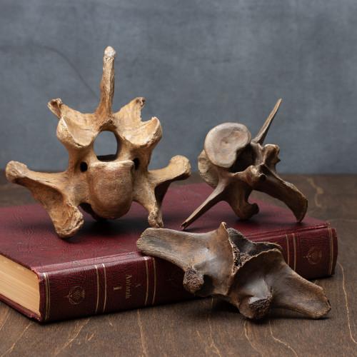 Fossil Bison Vertebrae - Thumbnail
