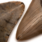 A Quality Megalodon Shark Teeth - Close Up
