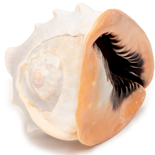 Pink Conch - Seashell - Thumbnail