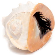 Pink Conch - Seashell - Thumbnail