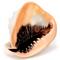 Pink Conch - Seashell - Backside